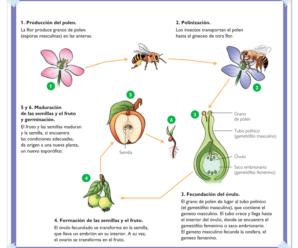 Cómo se reproducen las plantas (Formas de reproducción de las plantas)