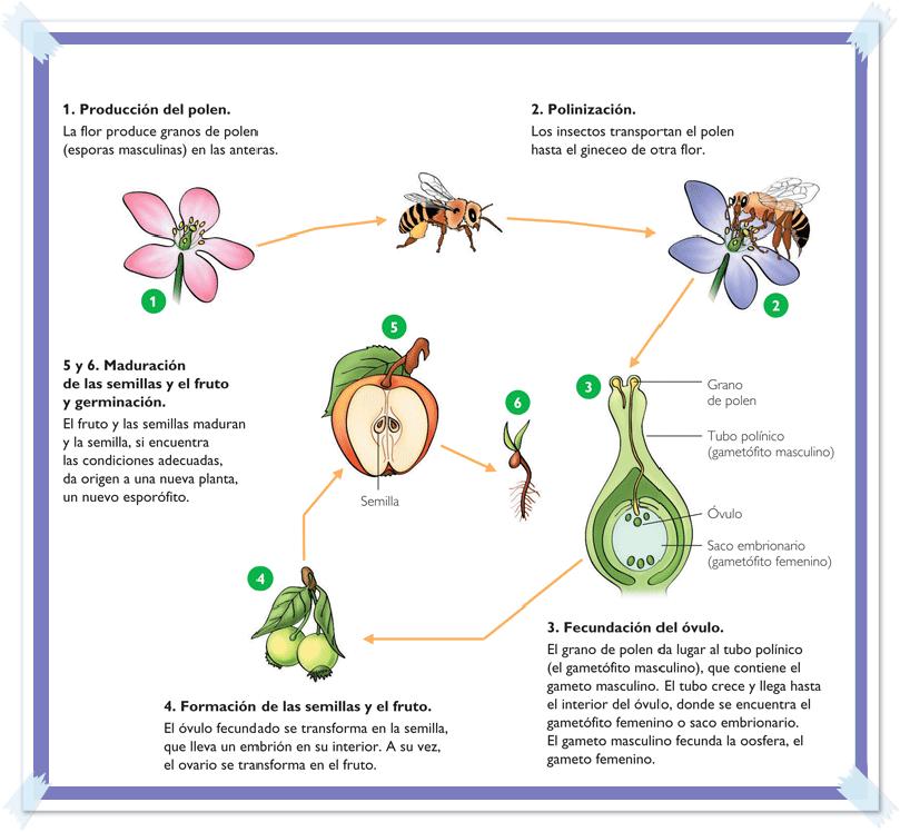 Proceso de reproduccion sexual de las plantas