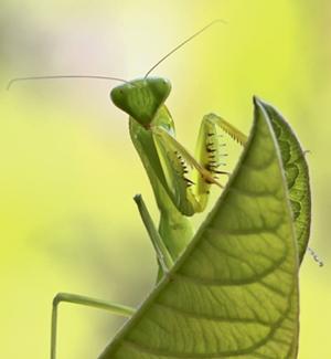 insectos que comen otros insectos