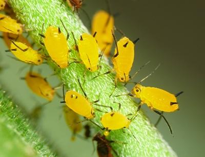 C mo se defienden las plantas mecanismos de defensa de las plantas - Plantas contra los mosquitos ...
