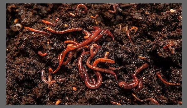 Detritívoro gusano de tierra