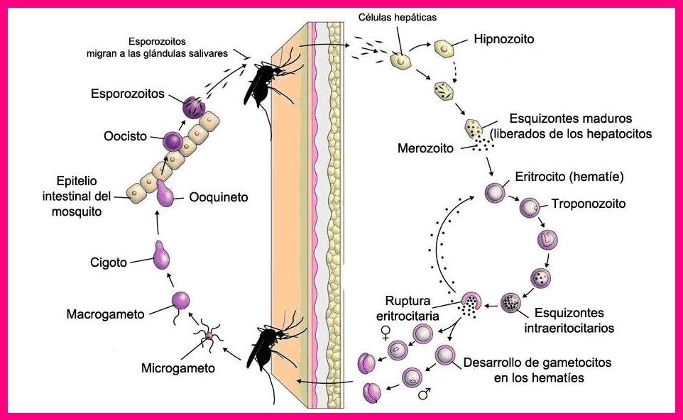 Ciclo de la malaria imagen