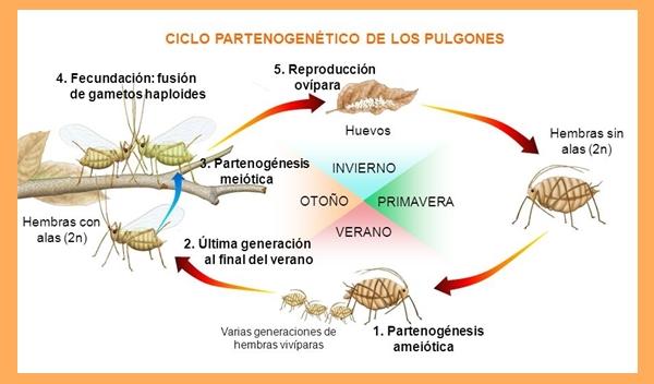 Imagen partenogénesis