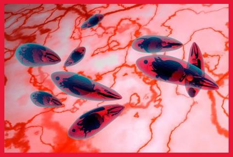 Toxoplasma gondii imagen