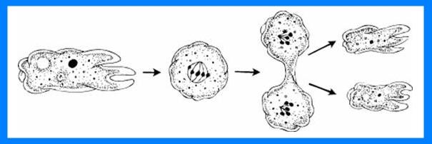 ameba division imagen