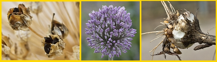imagen flor de ajo