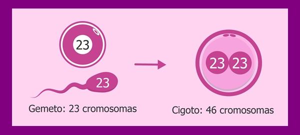 Dos células sexuales