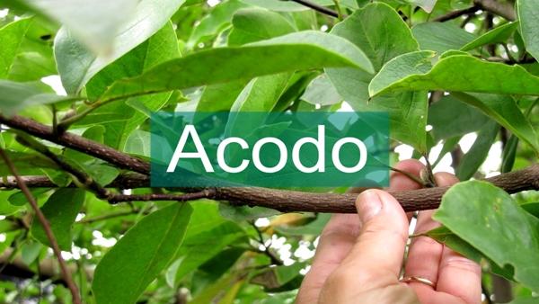 Imagen acodo