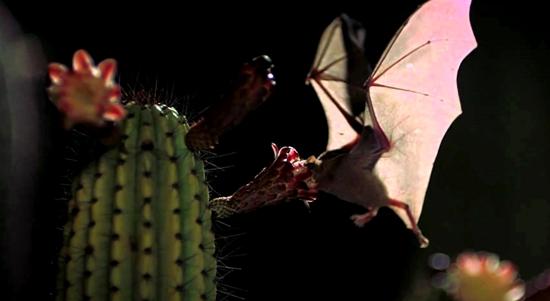 Imagen polinizadores murciélagos