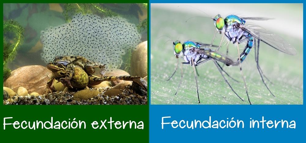Fecundación externa e interna