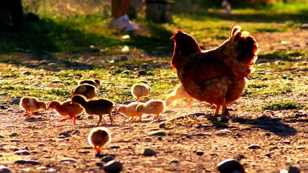 Gallina con polluelos imagen