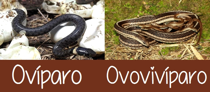 Ovíparo y Ovovivíparo Diferencia