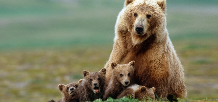 Animalia oso grizzly imagen