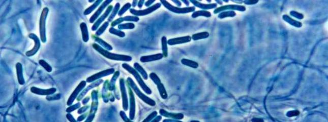 Monera bacteria aurantiacus imagen